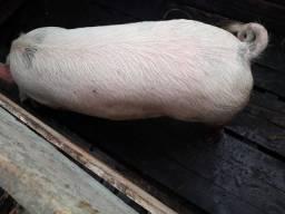 130 a 140 kilos porco