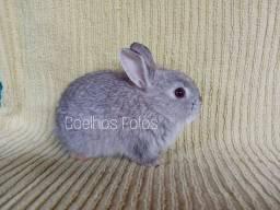Mini coelho raça Anão Netherland