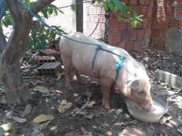 Vende-se esse porco
