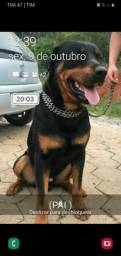 Rottweiler cabeça de Touro Puro