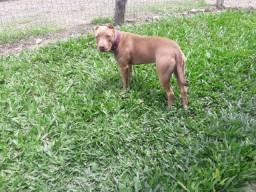 Filhote femea PitBull Terrier 6 meses