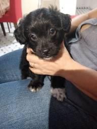 Cachorro poodle , raça pequena ,número 1