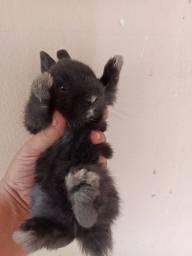 Filhotinhos de coelho anão nertheland dwarf