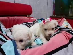 Lindos bebês de maltês