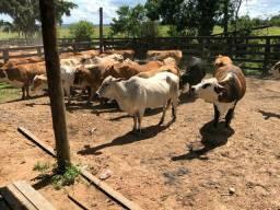 Vacas de cria
