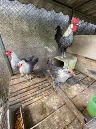 Galo e galinhas Campine Prata