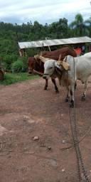 Junta de terneiros/tourinhos