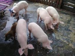 Vendo porcos de todos os tamanhos e preços