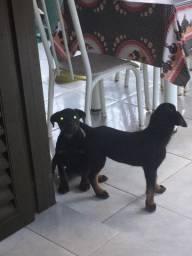 Filhotes de Rottweiler machos