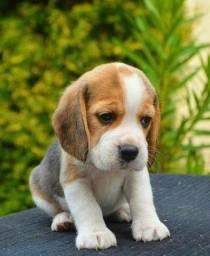 Filhotes de Beagle macho e fêmea disponíveis