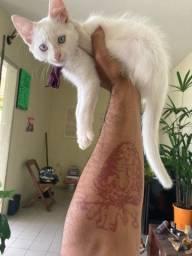 Gato branco olhos azuis