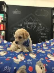 Poodle Toy Macho R$700,00