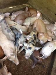 Porco Leitão ou porco médio