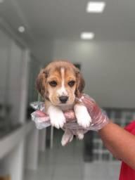 Beagle 13 polegadas, bicolor e tricolor com garantia de saúde e assistência veterinária!
