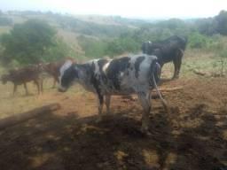 Gado , vacas, novilhas, bezerros