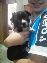 Pitbull terrier  400 reais