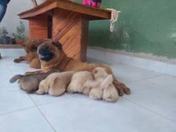Filhotes de chow-chow 45 dias ja xom a 1 vacina e vermifigo