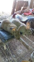 Filhotes de coelhos gigante de Flandres