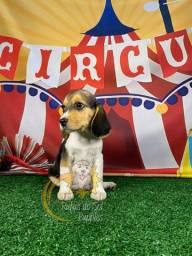 Filhotes Perfeitos de Beagle Mini