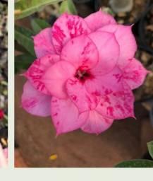 Rosa do deserto enxerto
