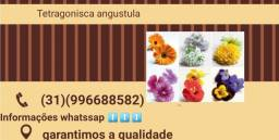 Angustula