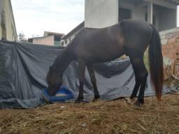 Cavalo raça quarto de milha