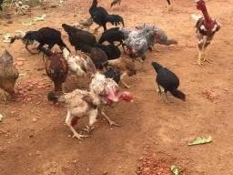 Galinhas e frangos
