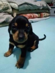 Filhote de linguícinha dachshund