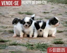 Cachorros - filhotes de shih-tzu