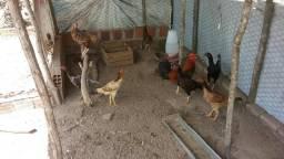 18 galinhas e 2 galos de capoeira