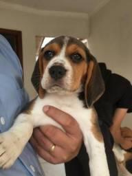 Beagle macho com dois meses. É o último!