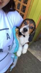 Filhote Beagle fêmea