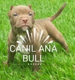American bully xl ats de saúde pedigree zp zp21986563109