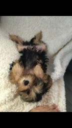 Vendo Cachorros Yorkie-Poo Black Friday