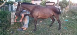 Cavalo crioulo com QM