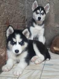 Husky siberiano filhotes com excelência