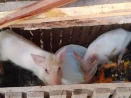 Vendo porco pequeno de raça