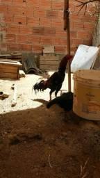 Vendo  oovos