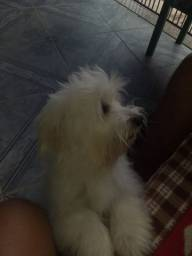 Cachorro para cruzar