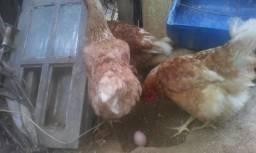 Vendo galinha nova genbraw de postura