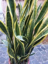 Espada de São Jorge - Planta (Sansevieria trifasciata)
