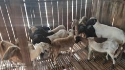 Lote de ovelhas e reprodutor