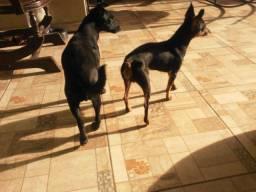 Cão pinscher