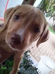 Linda fêmea de pitbull Red Nose