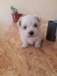Maltes bichon baby face micro 900.00