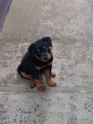 Filhote de Rottweiler 2 meses