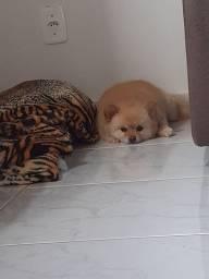 Cachorro Lulu da pomerânia