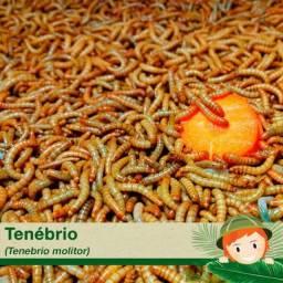 Tenébrio molitor e besouro do amendoim