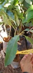Mudas Abacate, certificadas e enchertadas