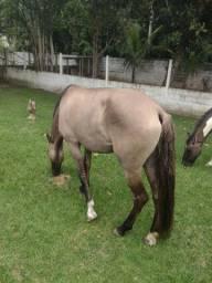 Égua Campolina Lobuna / Marcha picada